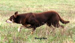 Border Collies and Working Kelpies - stockdogs, cowdogs for